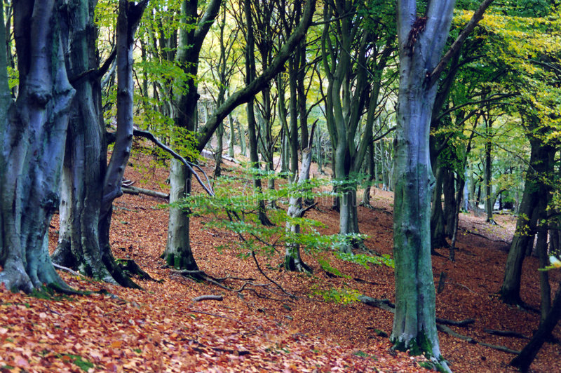 Download Ancient forest stock image. Image of walking, leaves, fresh - 35695