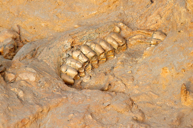 Ancient Fossil Jaw Bone Stock Photography