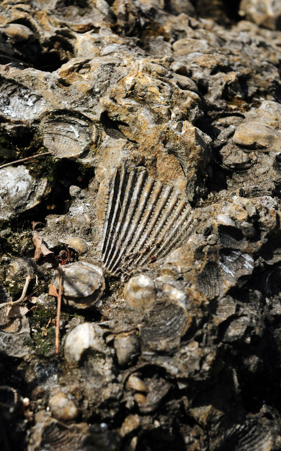 Free Ancient Fossil Of Mollusks And Shells Stock Image - 26022151