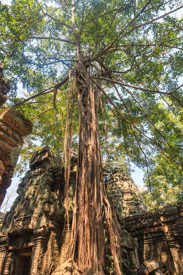 Ancient gallery of amazing Ta Prohm temple overgrown with trees. Mysterious ruins of Ta Prohm nestled among rainforest royalty free stock images