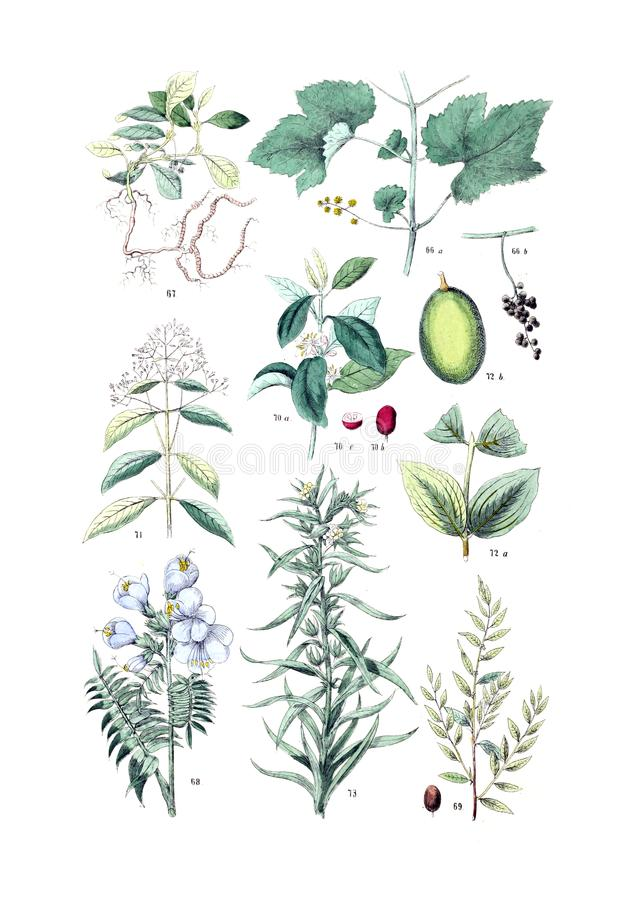 Illustrations of plant. stock image