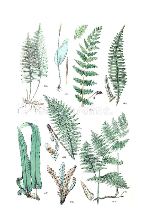 Illustrations of plant. Ancient illustration of the plant. Hand drawn royalty free stock images