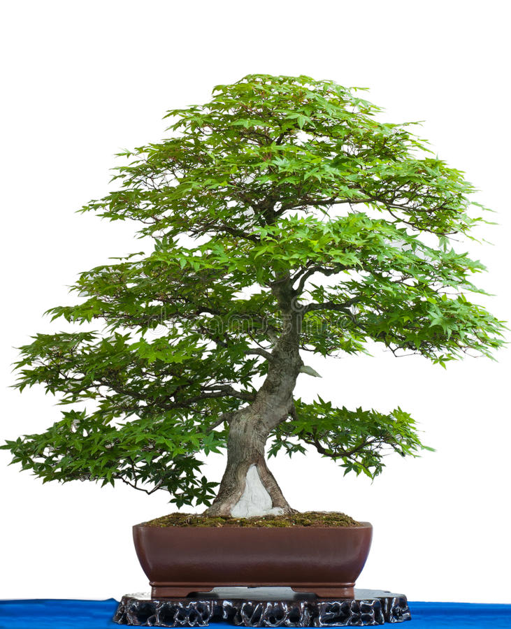Ancient japanese maple tree as bonsai. Is white isolated royalty free stock photo
