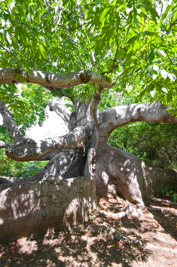 Ancient kapok tree. Very old kapok tree with mystery roots and branches royalty free stock photography
