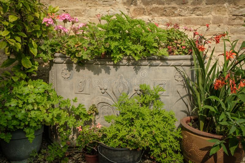 Ancient lead planter filled with Geraniums and other flowers. Large ornate lead planter against a stone wall and filled with Geraniums and surrounded by pots and stock image