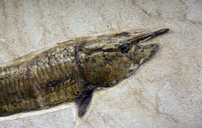Ancient Mesozoic age fossil fish in the rock royalty free stock photos