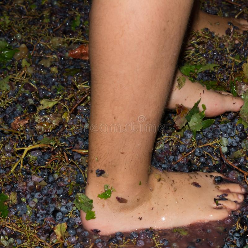 Ancient method to produce wine in which feet crush the grapes af. Ancient method to produce wine in which children& x27;s feet crush the grapes after the grapes stock photo