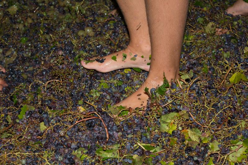 Ancient method to produce wine in which feet crush the grapes af. Ancient method to produce wine in which children& x27;s feet crush the grapes after the grapes stock photos