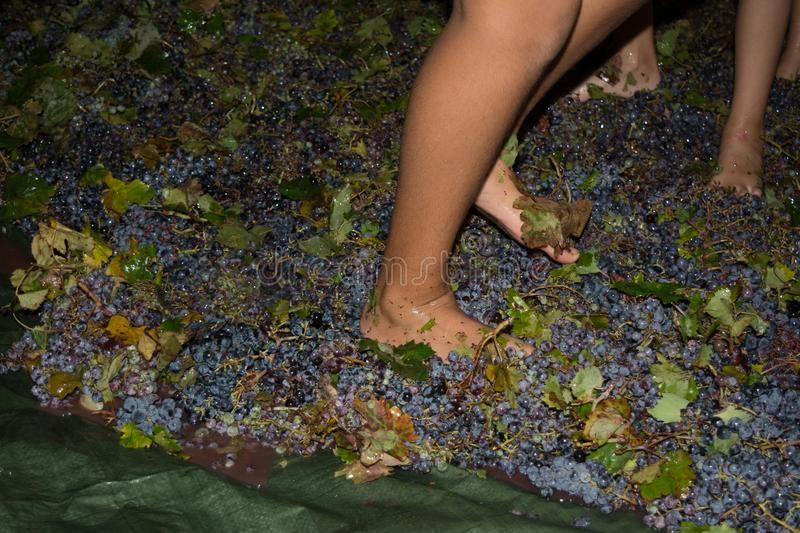 Ancient method to produce wine in which feet crush the grapes af. Ancient method to produce wine in which children& x27;s feet crush the grapes after the grapes royalty free stock photo