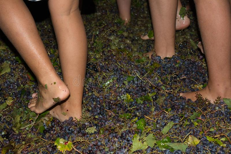 Ancient method to produce wine in which feet crush the grapes af. Ancient method to produce wine in which children& x27;s feet crush the grapes after the grapes royalty free stock image