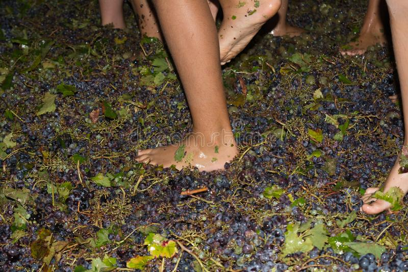 Ancient method to produce wine in which feet crush the grapes af. Ancient method to produce wine in which children& x27;s feet crush the grapes after the grapes stock photography