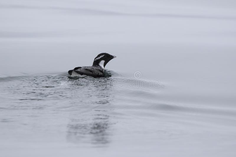 ancient murrelet who swims on the water overcast day stock photos
