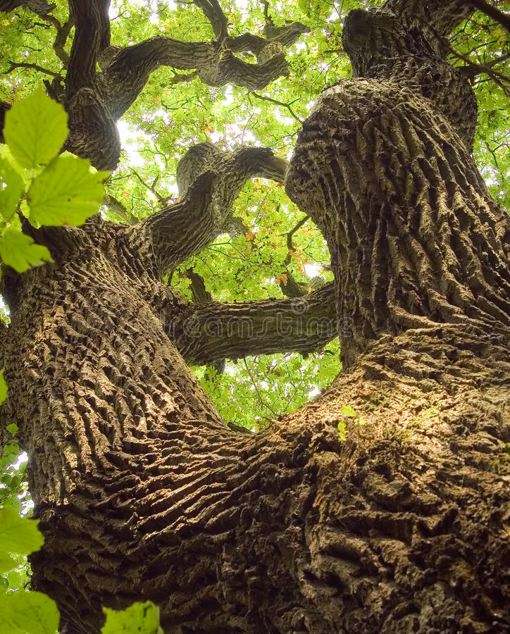 Download Ancient Oak stock photo. Image of green, atmosphere, canopy - 9498296