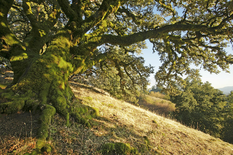 Ancient Oak Tree royalty free stock photo