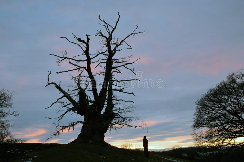 An ancient oak tree standing on a small hill with a man looking up at it, silhouetted against the sunset at winter stock photo