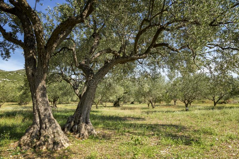 Ancient olive trees in olive grove. On a sunny day royalty free stock photography