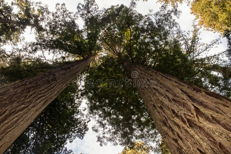 Ancient redwood forest - Looking up at the tops of the tall trees - perspective stock image