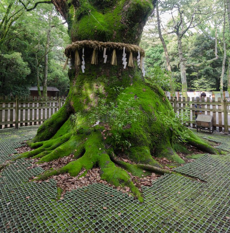 Ancient sacred tree at Atsuta Shrine (Atsuta-jingu), lcated in Atsuta-ku. Nagoya royalty free stock photo