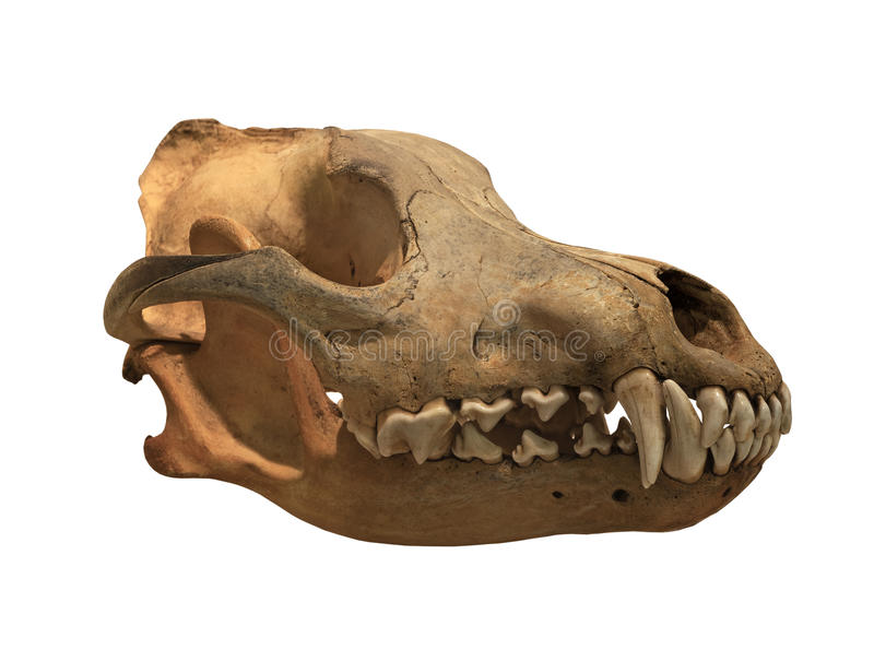 Ancient skull wolf on a white background, isolated. Ancient skull of wolf on white background, isolated stock photos