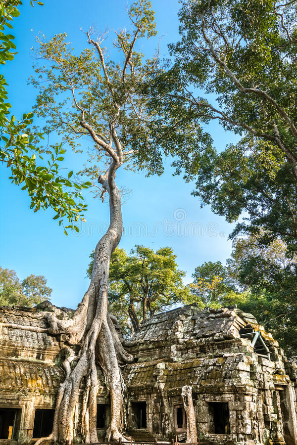 Ancient stone door and tree roots, Ta Prohm temple stock photography