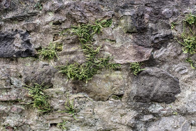 Ancient stone wall with weeds and ferny. Growing in cracks stock photography
