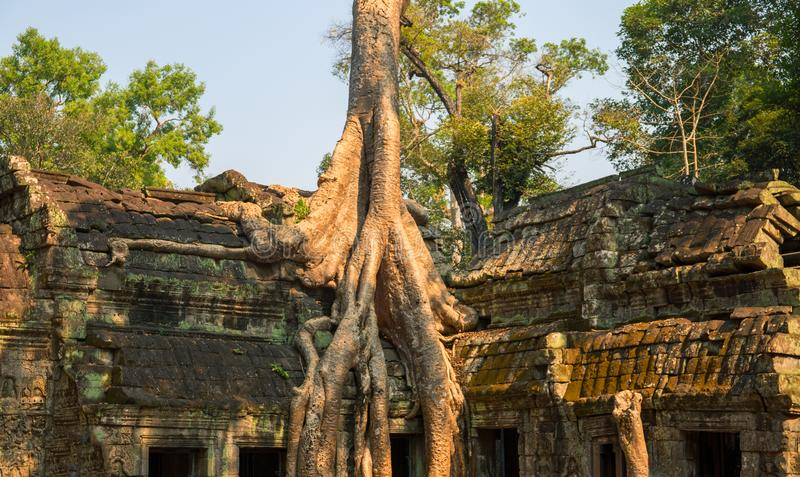 Ancient temple ruins near Angkor Wat, Siem Reap, Cambodia. Tree growing from stone ruin. Ancient hindu temple abandoned in jungle forest. Tropical forest with royalty free stock image