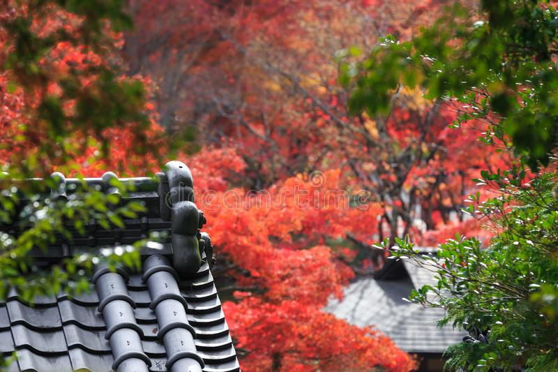 Ancient Tile Roof of an old Japanese Temple in a Garden with Red Maple Trees. Kyoto, Japan stock photos