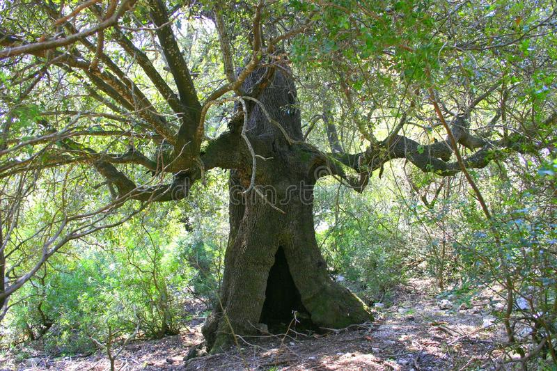 Ancient Tree Royalty Free Stock Photography
