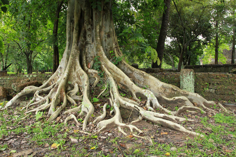 Download Ancient Tree Royalty Free Stock Photography - Image: 26592687