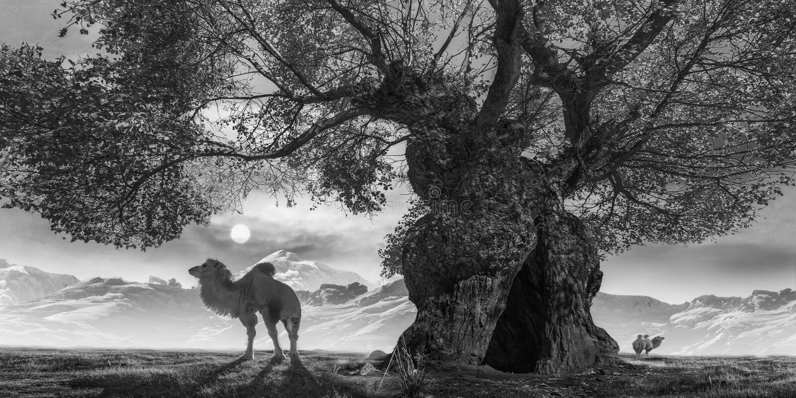 Ancient trees and camels. Hundreds of years of ancient trees, growing at the foot of the snow mountain, there are always camels in the leisurely grazing royalty free stock image