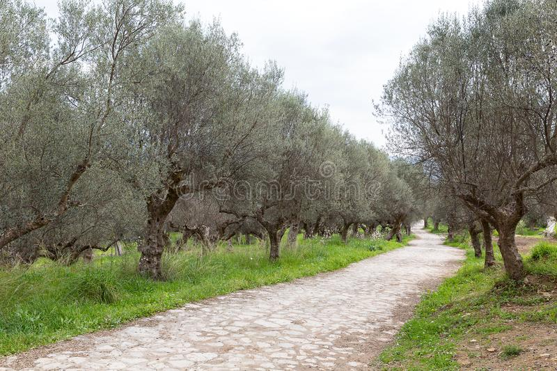 Ancient way through an olive grove, Sparta, Greece, Europe stock image