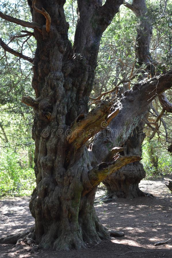 Ancient Yew tree at Kingley Vale. royalty free stock image