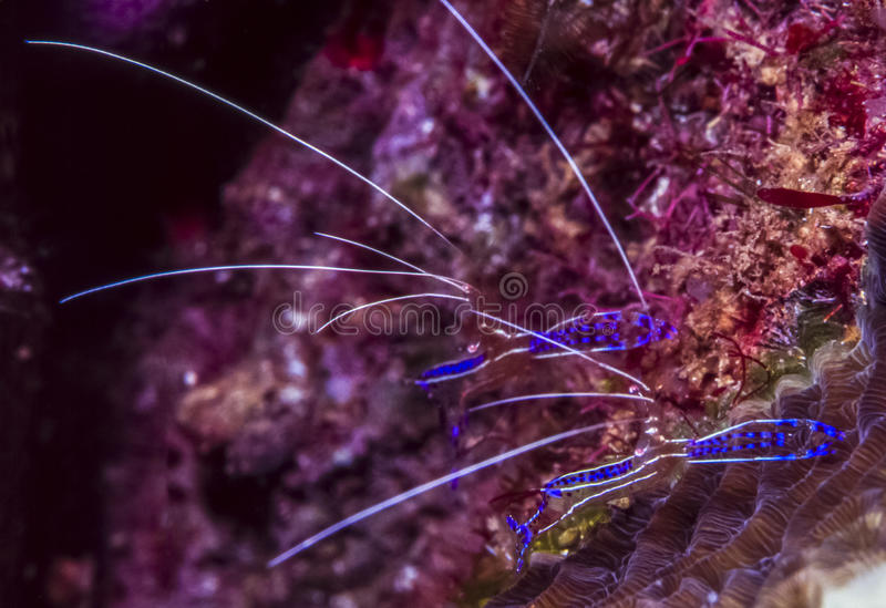 Ancylomenes pedersoni, Pederson's shrimp. Ancylomenes pedersoni, sometimes known as Pederson's shrimp, is a species of cleaner shrimp royalty free stock photo