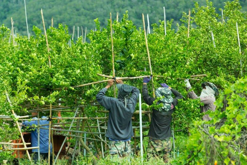 Andaime de bambu na exploração agrícola do limão fotografia de stock