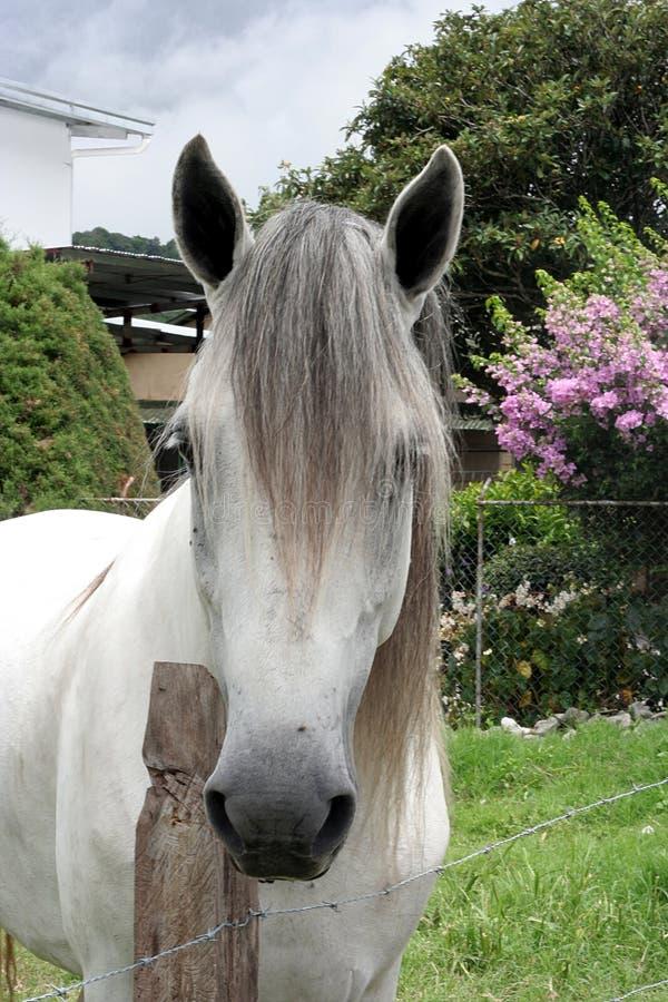 andalucian konia zdjęcie stock
