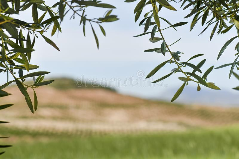 Andalusia coutryside copy space southern Spain. Shot for copy space beautiful Andalusia coutryside scenic view framed by olive branches blurred background of stock photos