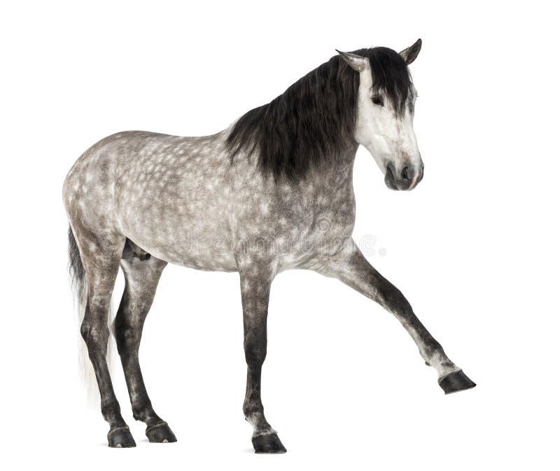 Andalusian поднимая переднюю ногу, 7 лет старых, также известную как чисто испанская лошадь или PRE стоковое фото rf