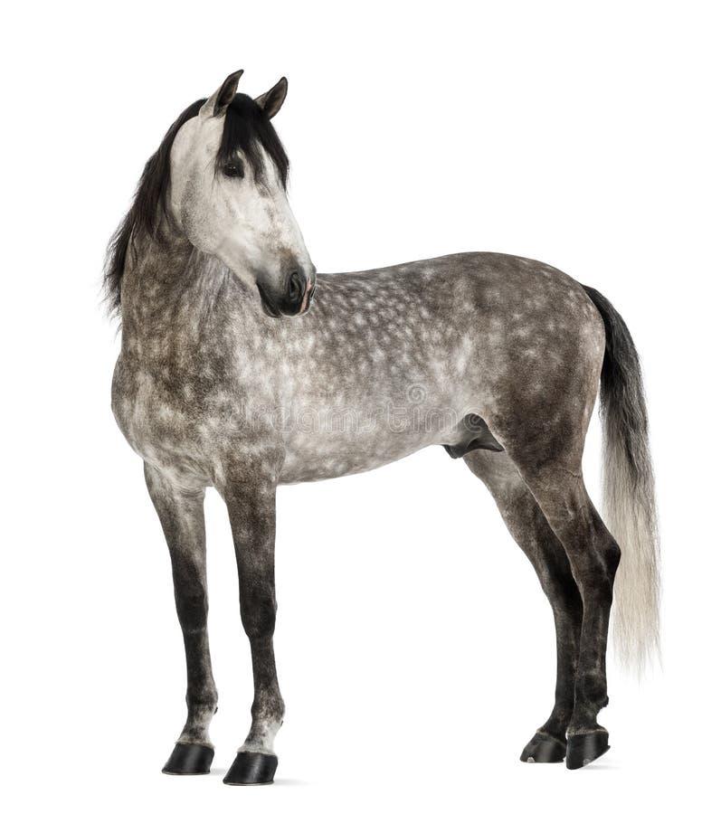 Andalusian, 7 лет старых, смотря назад, также известный как чисто испанская лошадь стоковые фотографии rf