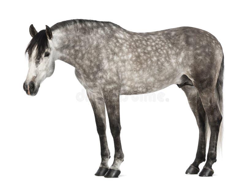 Andalusian, 7 лет старых, также известный как чисто испанская лошадь стоковые изображения rf