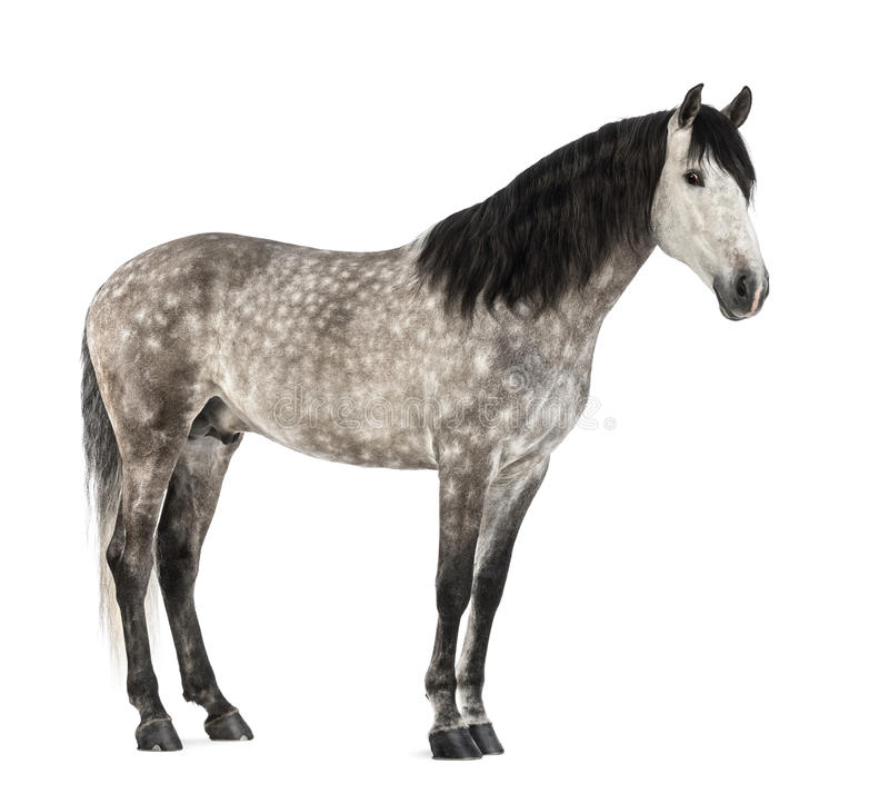 Andalusian, 7 лет старых, также известный как чисто испанская лошадь стоковые фото