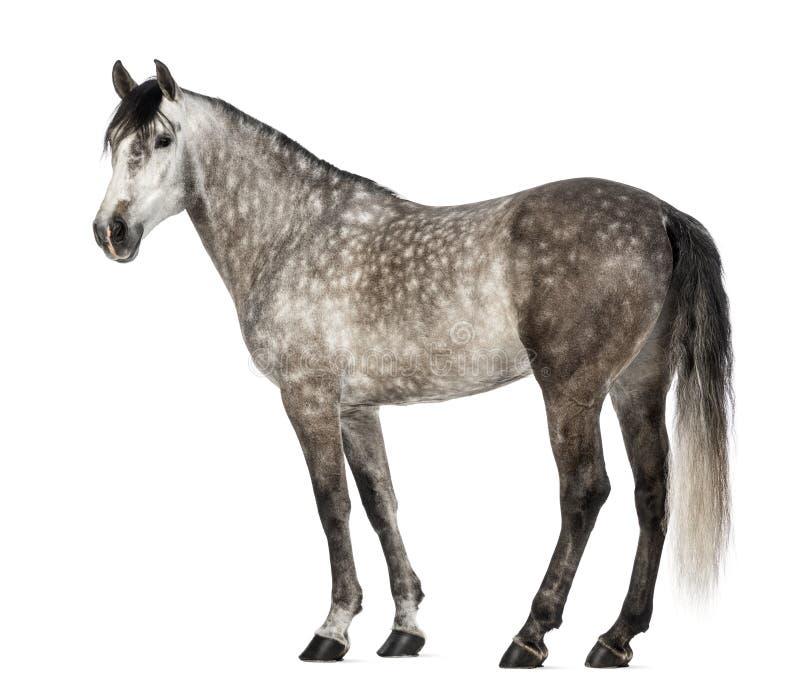 Andalusian, 7 anos velho, igualmente conhecido como o cavalo espanhol puro fotos de stock