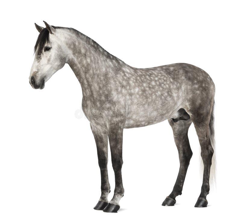 Andalusian, 7 anos velho, igualmente conhecido como o cavalo espanhol puro fotografia de stock
