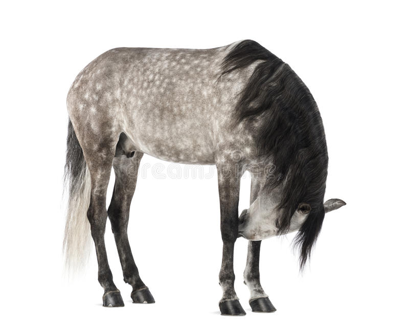 Andalusian, 7 anos velho, igualmente conhecido como o cavalo espanhol puro ou PRE fotografia de stock