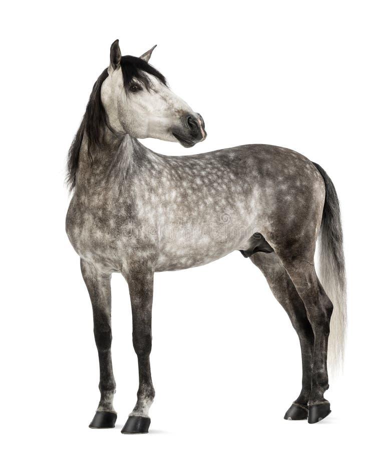 Andalusian, 7 anos velho, olhando para trás, igualmente conhecido como o cavalo espanhol puro foto de stock