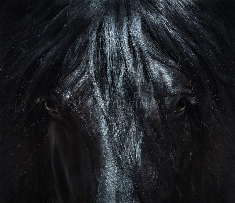 Andalusian black horse with long mane. Portrait close up. royalty free stock photo