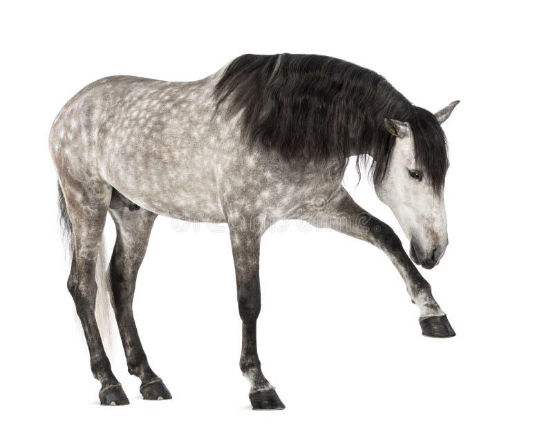 Andalusian, der das vordere Fahrwerkbein, 7 Jahre alt, alias das reine spanische Pferd oder VOR anhebt lizenzfreies stockbild