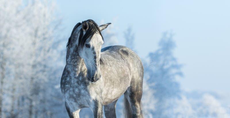 Andalusian fullblodgrå färghäst i vinterskog royaltyfria foton