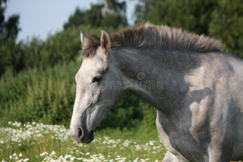Andalusian gray young horse portrait in summer stock image
