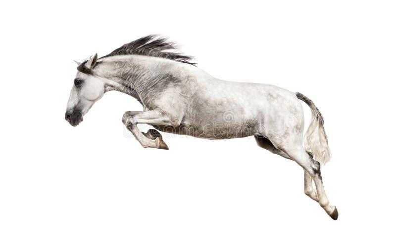 Andalusian hästbanhoppning arkivfoto