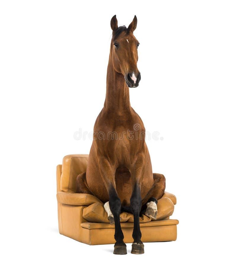 Andalusian hästsammanträde på en fåtölj royaltyfri fotografi